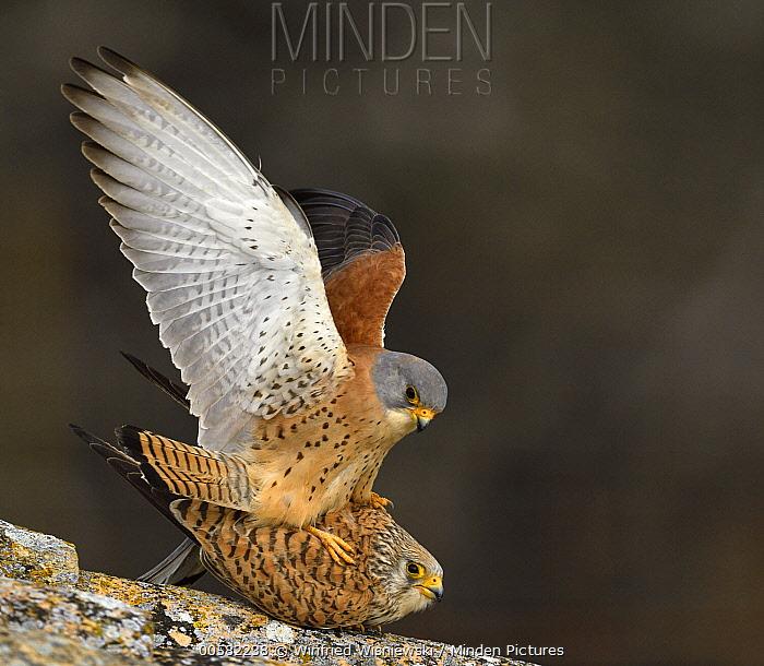 Lesser Kestrel (Falco naumanni) pair mating, Castile-La Mancha, Spain
