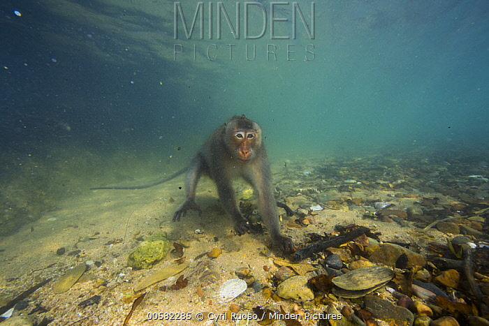 Long-tailed Macaque (Macaca fascicularis) looking underwater for food thrown by people, Thailand
