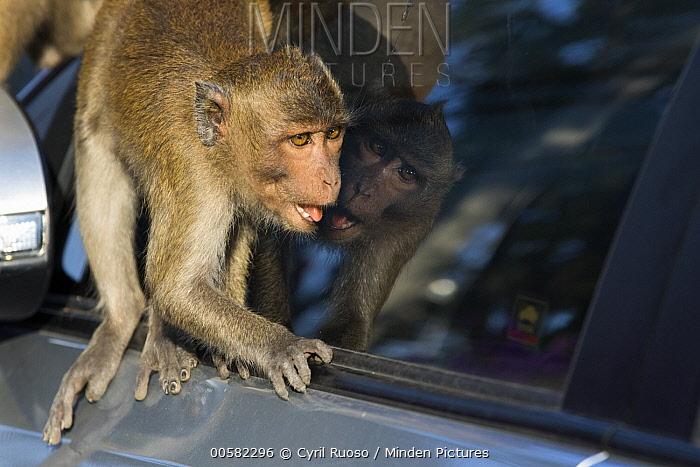 Long-tailed Macaque (Macaca fascicularis) looking at reflection, Thailand