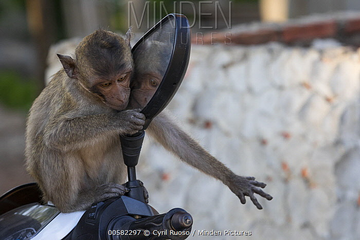 Long-tailed Macaque (Macaca fascicularis) looking at reflection, Thailand