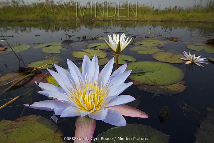 Water Lily (Nymphaea sp) flowers, Bangweulu Wetlands, Zambia