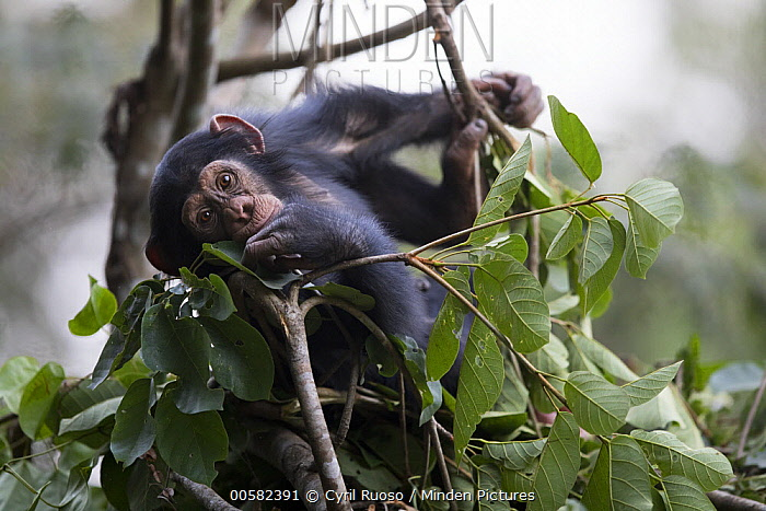 Chimpanzee (Pan troglodytes) five year old juvenile male named Fanwwaa at mother's nest, Bossou, Guinea