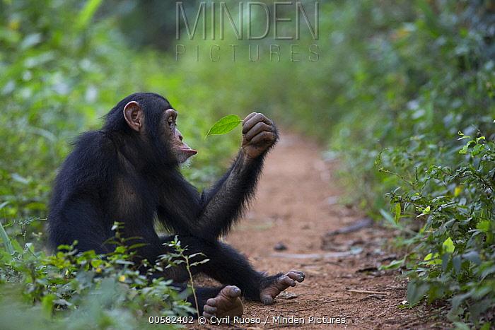 Chimpanzee (Pan troglodytes) five year old juvenile male named Fanwwaa holding leaf sitting along path, Bossou, Guinea