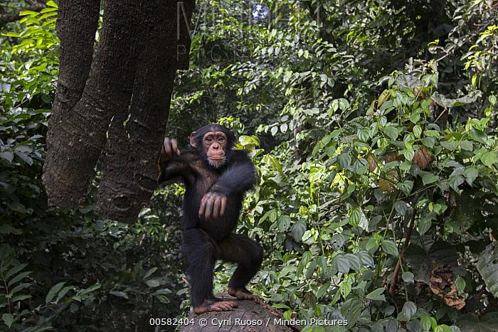 Chimpanzee (Pan troglodytes) five year old juvenile male named Fanwwaa throwing bark, Bossou, Guinea. Sequence 2 of 3