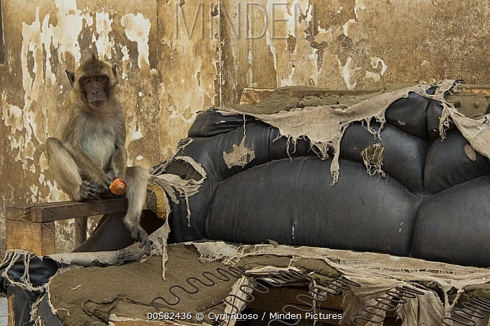 Long-tailed Macaque (Macaca fascicularis) with shell in abandoned building, Thailand