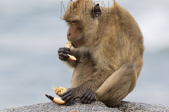 Long-tailed Macaque (Macaca fascicularis) feeding on crab, Khao Sam Roi Yot National Park, Thailand