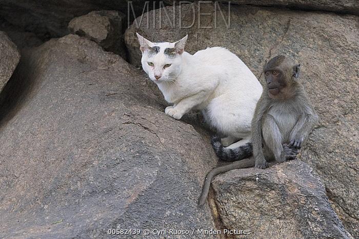 Long-tailed Macaque (Macaca fascicularis) juvenile and Domestic Cat (Felis catus), Thailand
