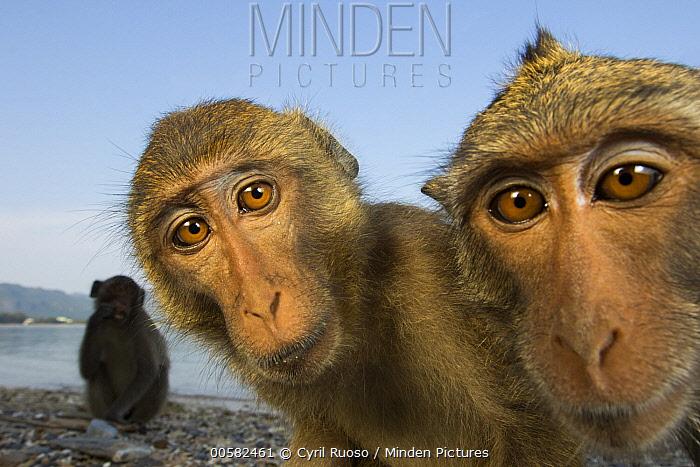 Long-tailed Macaque (Macaca fascicularis) group, Khao Sam Roi Yot National Park, Thailand