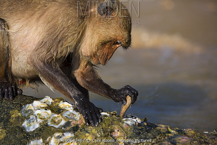 Long-tailed Macaque (Macaca fascicularis) using stone tool to break shell, Khao Sam Roi Yot National Park, Thailand