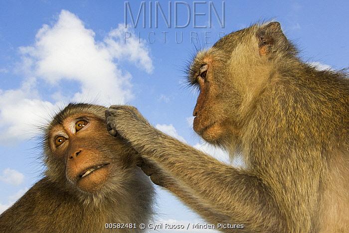 Long-tailed Macaque (Macaca fascicularis) pair grooming, Khao Sam Roi Yot National Park, Thailand