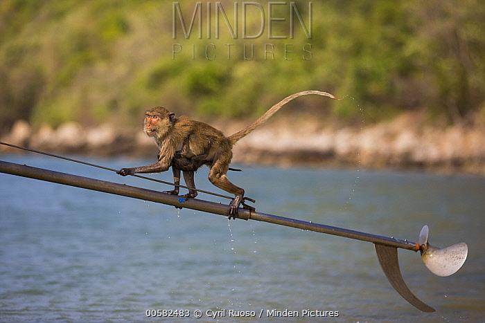 Long-tailed Macaque (Macaca fascicularis) climbing up boat propeller, Khao Sam Roi Yot National Park, Thailand