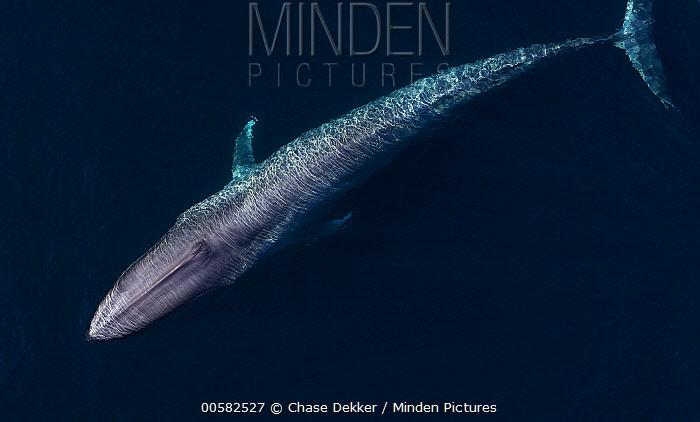 Blue Whale (Balaenoptera musculus), Monterey Bay, California