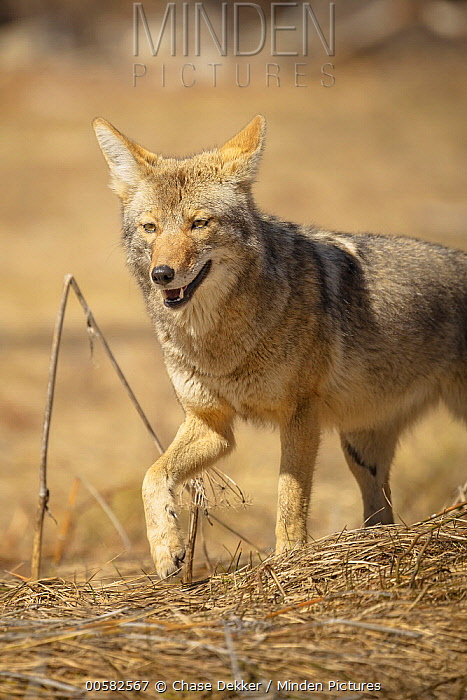 Coyote (Canis latrans), Yosemite National Park, California