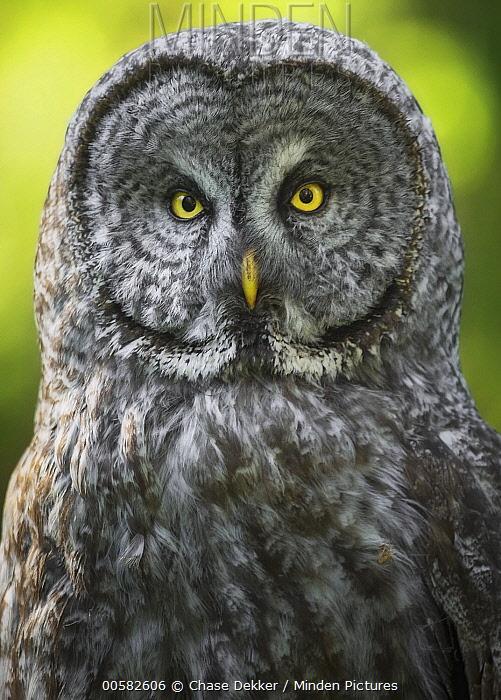 Great Gray Owl (Strix nebulosa), Grand Teton National Park, Wyoming