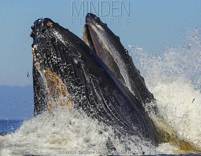 Humpback Whale (Megaptera novaeangliae) gulp feeding on Northern Anchovy (Engraulis mordax), Monterey Bay, California