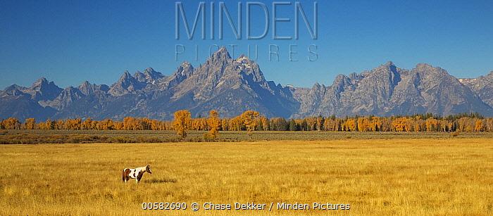 Domestic Horse (Equus caballus) in meadow, Grand Teton National Park, Wyoming