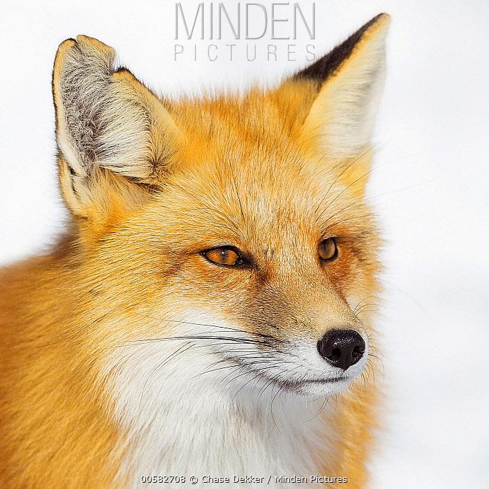 Red Fox (Vulpes vulpes) in winter, Grand Teton National Park, Wyoming