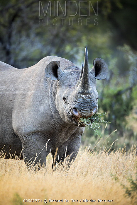 Black Rhinoceros (Diceros bicornis) female grazing, Mountain Zebra National Park, South Africa