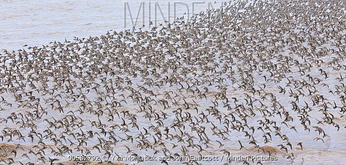 Semipalmated Sandpiper (Calidris pusilla) flock flying, Bay of Fundy, New Brunswick, Canada