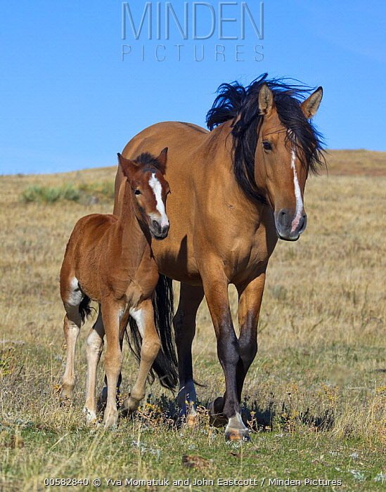 Mustang (Equus caballus) mother and foal, Oshoto, Wyoming