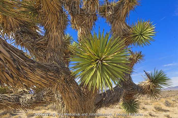 Joshua Tree (Yucca brevifolia) in desert, Eagle Valley Reservoir, Nevada
