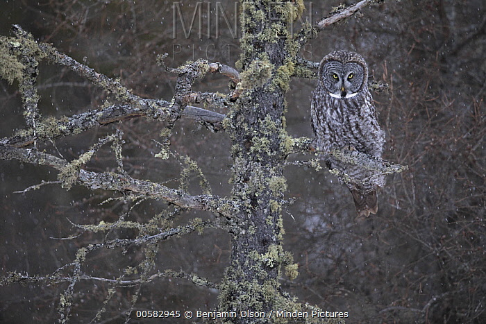 Great Gray Owl (Strix nebulosa), Sax-Zim Bog, Minnesota