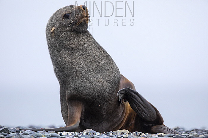 Antarctic Fur Seal (Arctocephalus gazella) female scratching herself, Antarctica