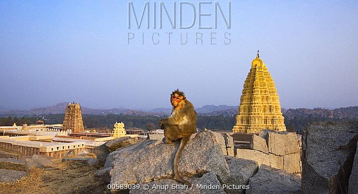 Hanuman Langur (Presbytis entellus) female and temple, Virupaksha Temple, Hampi, Karnataka, India