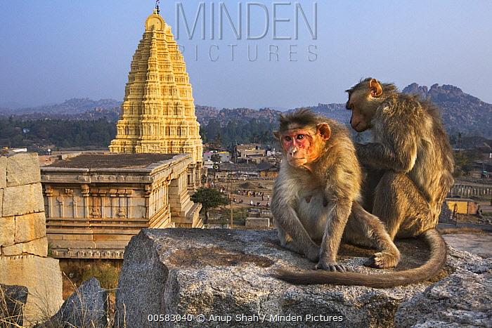 Hanuman Langur (Presbytis entellus) females grooming near temple, Hampi, Karnataka, India