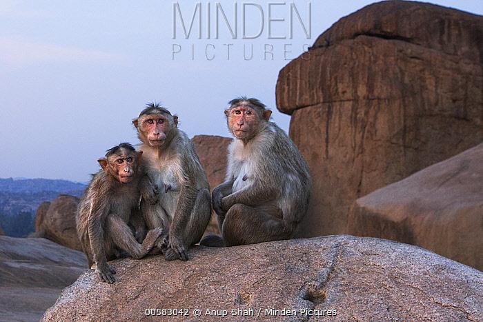Hanuman Langur (Presbytis entellus) females and sub-adult, Hampi, Karnataka, India