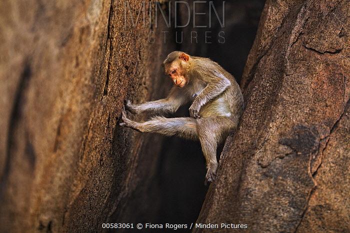 Hanuman Langur (Presbytis entellus) female climbing down cliff, Hampi, Karnataka, India