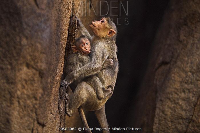 Hanuman Langur (Presbytis entellus) mother climbing down cliff with young, Hampi, Karnataka, India