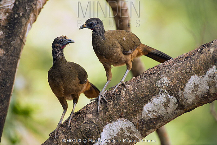 Speckled Chachalaca (Ortalis guttata) pair, South America