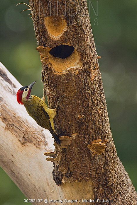 Spot-breasted Woodpecker (Colaptes punctigula) at nest cavity, South America