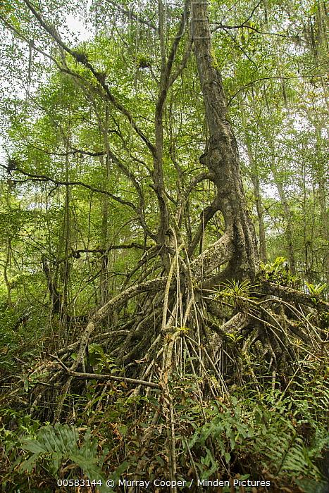 Mangrove (Rhizophora sp) trees, Cayapas Mataje Ecological Reserve, Ecuador