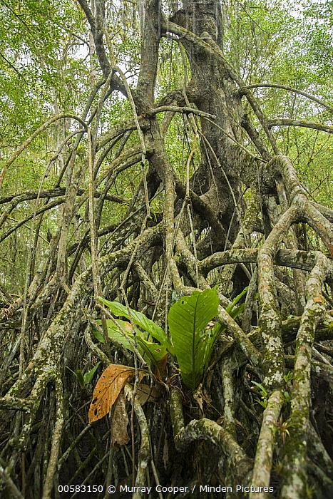 Mangrove (Rhizophora sp) aerial roots, Cayapas Mataje Ecological Reserve, Ecuador