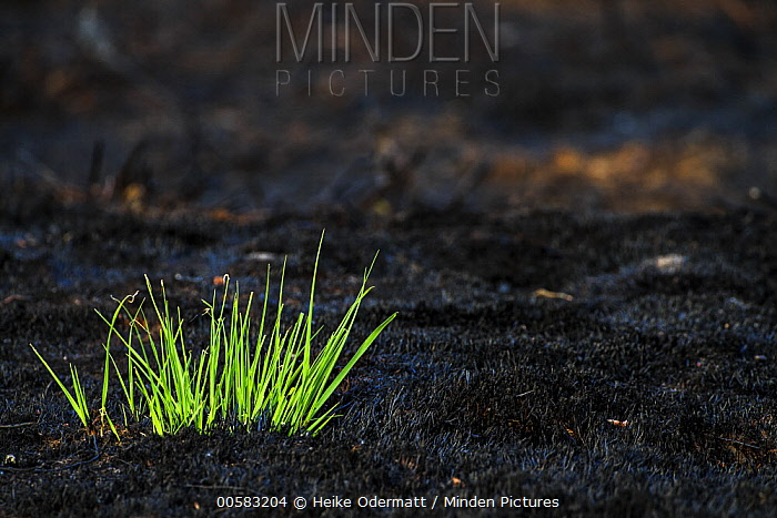 New growth in recently burnt heathland, Netherlands