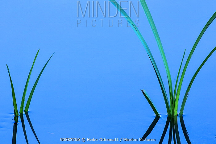 Reeds in stream, Netherlands