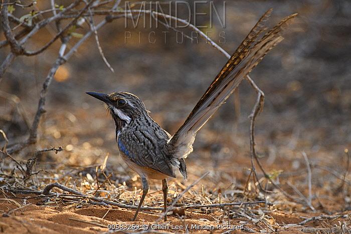 Long-tailed Ground-Roller (Uratelornis chimaera), Mangily, Madagascar