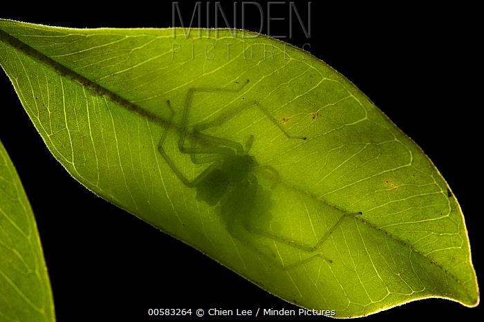 Huntsman Spider (Chrosioderma sp) female guarding eggs on leaf underside, Andasibe, Madagascar