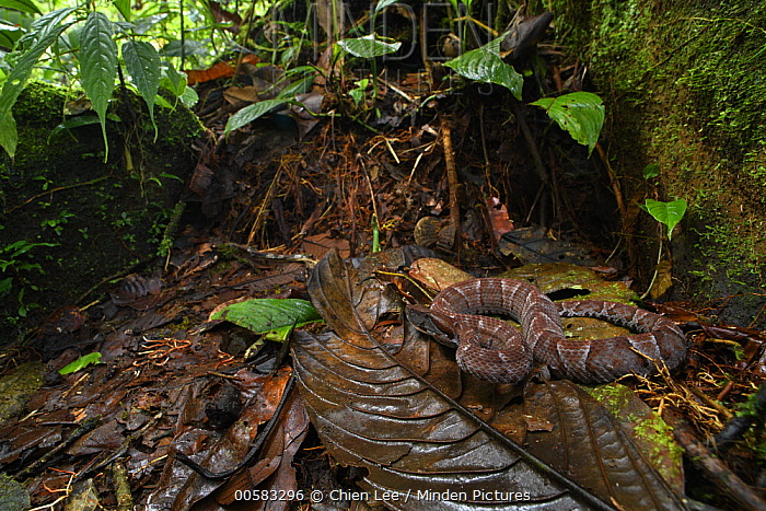 Ecuadorian Toad-headed Pit-viper (Bothrocophias campbelli) in rainforest, Mashpi Amagusa Reserve, Pichincha, Ecuador