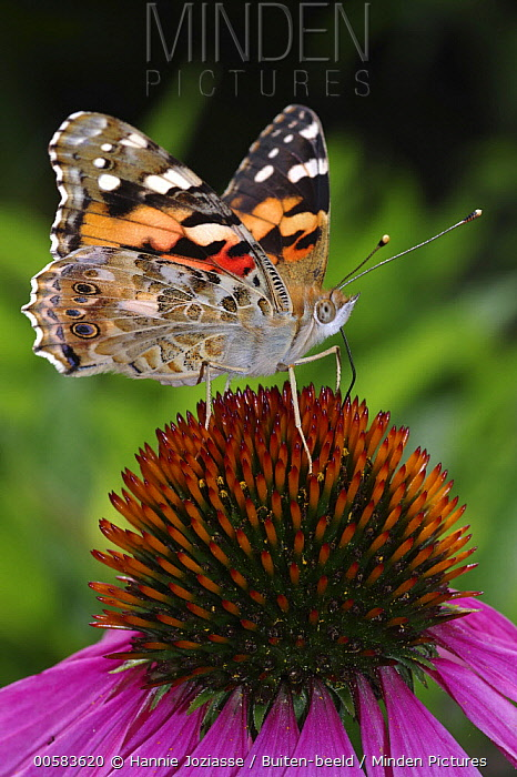 Painted Lady (Vanessa cardui) butterfly feeding on Purple Coneflower (Echinacea purpurea) nectar, Netherlands