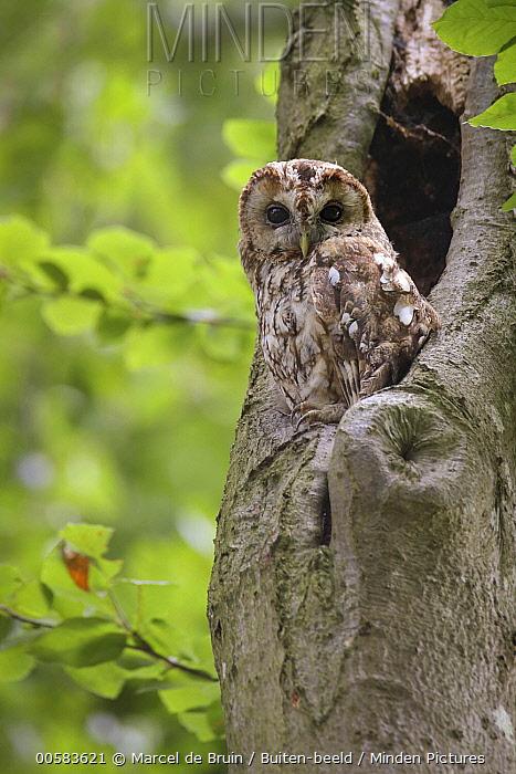 Tawny Owl (Strix aluco) at nest cavity, Netherlands