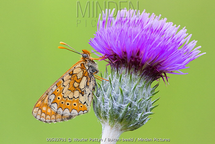 Marsh Fritillary (Euphydryas aurinia) butterfly, France