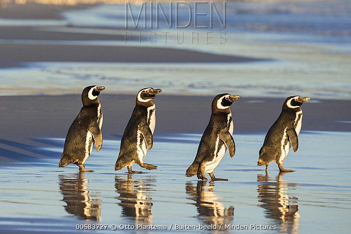 Magellanic Penguin (Spheniscus magellanicus) group on beach, Falkland Islands