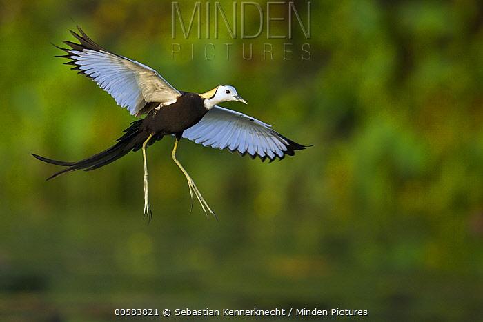 Pheasant-tailed Jacana (Hydrophasianus chirurgus) flying in breeding plumage, Diyasaru Park, Colombo, Sri Lanka