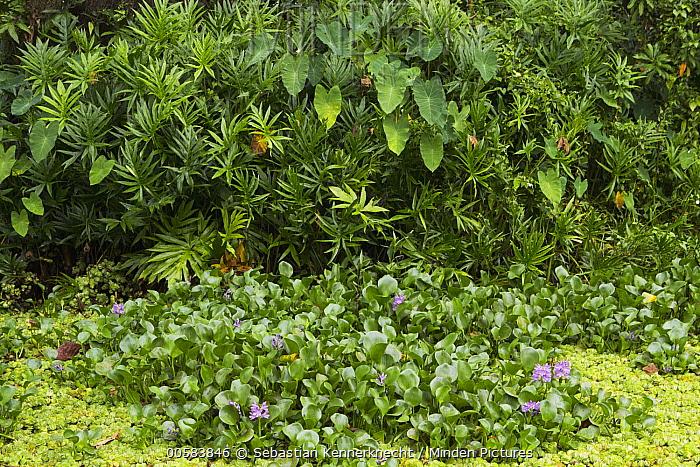 Common Water Hyacinth (Eichhornia crassipes), an invasive species, Diyasaru Park, Colombo, Sri Lanka