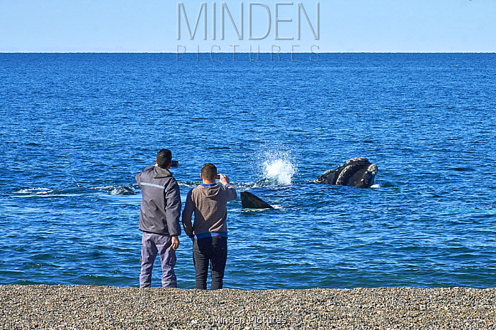 Southern Right Whale (Eubalaena australis) pair watched by tourists from beach, Chubut, Argentina