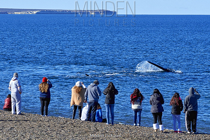 Southern Right Whale (Eubalaena australis) fin slapping and watched by tourists from beach, Chubut, Argentina