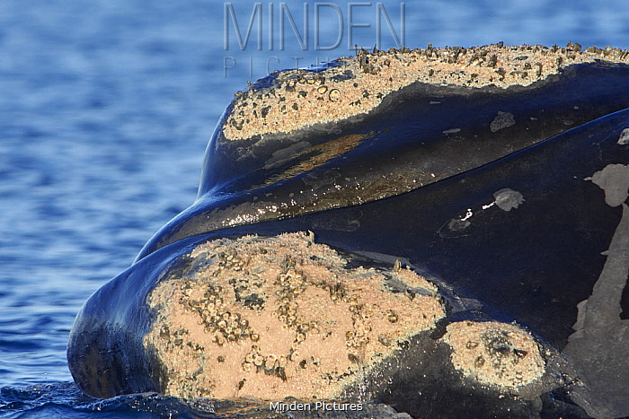 Southern Right Whale (Eubalaena australis) surfacing, showing callosites covered with barnacles and lice, Chubut, Argentina